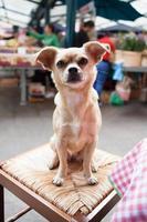 cane chihuahua sul tavolo foto