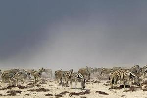 branco di zebre in una tempesta di polvere a Nebrowni Waterhole, Etosha foto