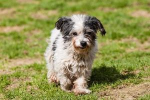 cane bastardo di cane maltese foto