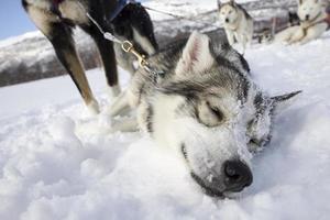 Ritratto di husky siberiano foto