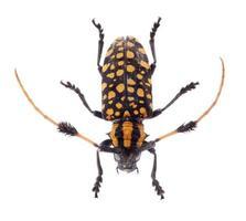scarabeo comune della mucca texana con cuscinetto a ciuffo, su fondo bianco