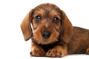 cucciolo di bassotto foto