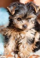 ritratto piccolo cucciolo di yorkshire terrier