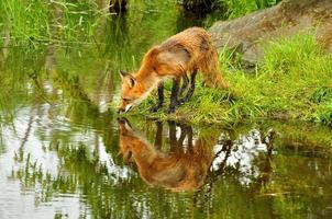 la volpe rossa beve da un lago limpido.
