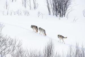 branco di lupi che cammina nel paesaggio invernale foto