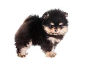 cucciolo di spitz in miniatura su bianco
