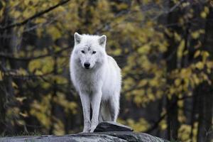 solitario lupo artico in una cornice autunnale foto