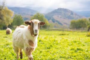 capra - messa a fuoco selettiva sulla capra, copia spazio foto