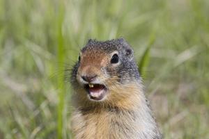primo piano dello scoiattolo a terra colombiano con la bocca aperta foto