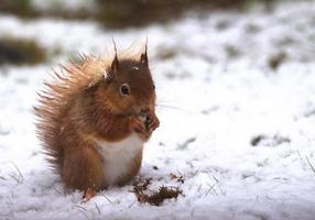 scoiattolo rosso nella neve foto