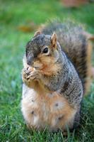 scoiattolo che mangia nocciola foto