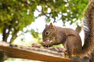 scoiattolo che mangia le nocciole foto