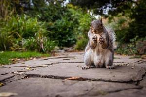 scoiattolo che mangia nocciola