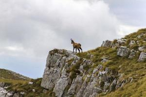 camoscio sulla cima di una roccia