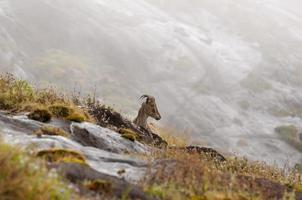 Nilgiri Tahr (capra di montagna) foto