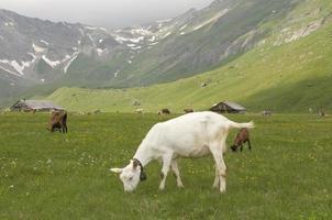 la capra di montagna bianca foto