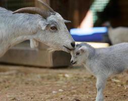 la capra e il bambino foto