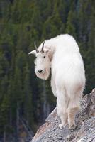 capra di montagna rocciosa canadese foto