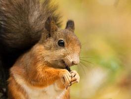 scoiattolo con semi di girasole foto