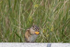 almeno scoiattolo che mangia uno spuntino vicino al monte rushmore foto