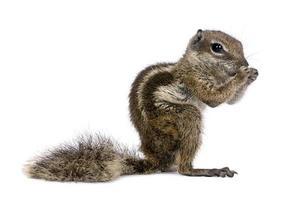 scoiattolo macinato babary, atlantoxerus getulus, in piedi foto