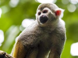primo piano di una scimmia scoiattolo comune foto