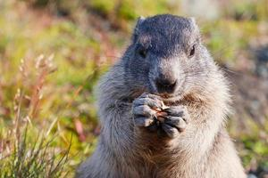 marmotta alpina (marmota) foto