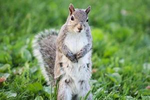 scoiattolo in piedi sulle zampe posteriori foto