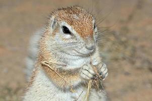 scoiattolo a terra del capo foto