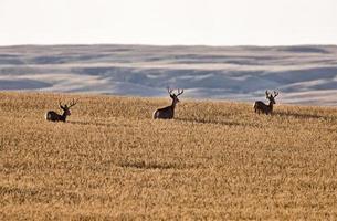 cervo mulo nel campo di grano