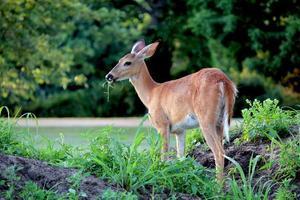 vicino della daina dalla coda bianca che mastica sull'erba foto