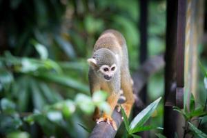 scimmie scoiattolo