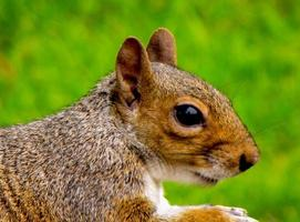 sguardo di scoiattolo foto