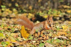 scoiattolo - un roditore della famiglia scoiattolo. foto