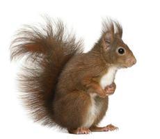 profilo laterale di uno scoiattolo rosso eurasiatico di 4 anni foto
