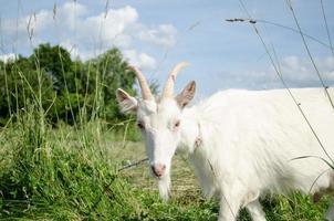 capra bianca in pascolo prato verde foto