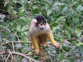 scimmia scoiattolo 002 foto
