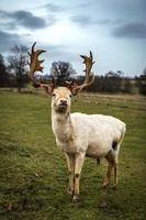 cervo bianco foto