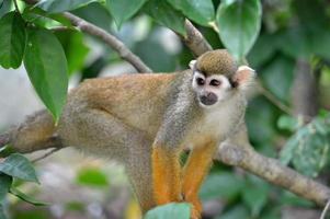 scimmia scoiattolo foto