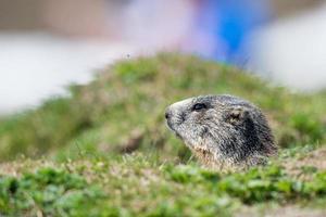 Ritratto di marmotta marmotta mentre ti guarda foto