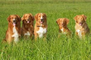 gruppo di cani nova scatia duck tolling retriever foto