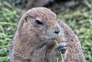 scoiattolo di terra foto
