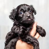 cucciolo di cane cinese