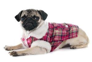 pug cucciolo vestito foto