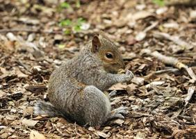 Pranzo di scoiattoli a Central Park di New York City, Stati Uniti d'America foto