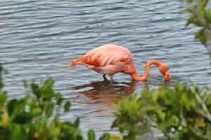 fenicottero rosa maggiore nelle isole galapagos foto