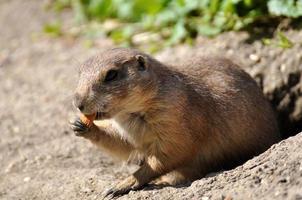 scoiattolo a terra europeo - spermophilus citellus foto