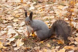 foto di scoiattolo grigio