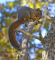 scoiattolo seduto in un albero a mangiare foto