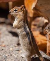 scoiattolo a terra ricoperto d'oro